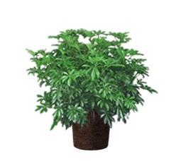 Arboricola Bush