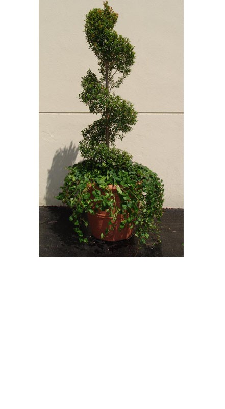 Specialty Topiaries - PF22