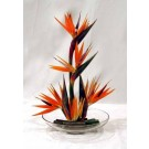 Birds of Paradise in Low Container - PF53